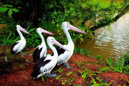 Pelicans by the lake