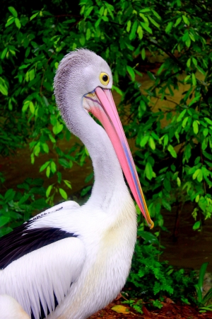 Pelican by the lake