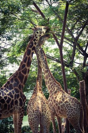 Giraffes feeding on leaves