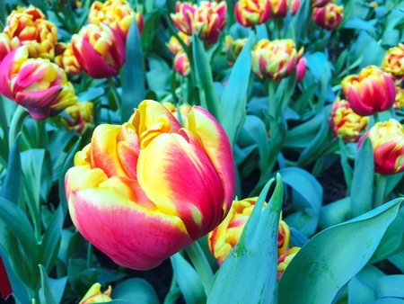Field of yellow and pink tulips Stock Photo
