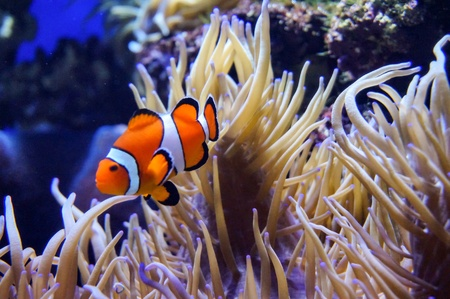 Clown fishes with corals