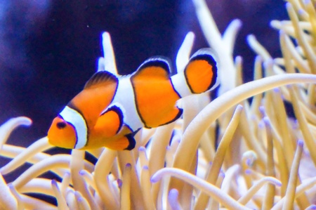 fish: Clown fishes with corals