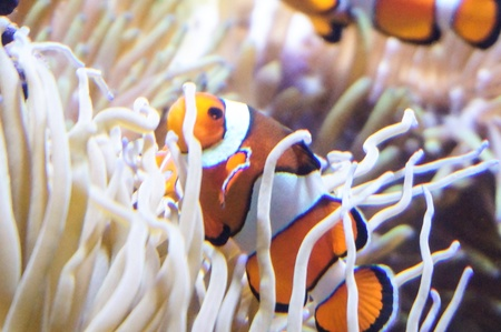 clown fish: Clown fishes with corals