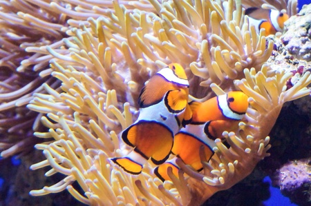 colorful: Clown fishes with corals