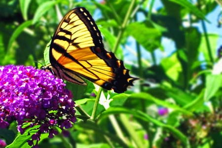 EEASTERN TIGER SWALLOWTAIL BUTTERFLY ON LILAC                             photo