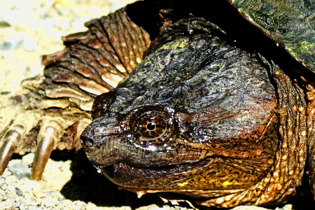freshwater turtle:                close-up shot of snapping turtle s profile