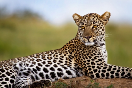 leopard: Beautiful female Leopard on termite mound, Masai Mara, Kenya