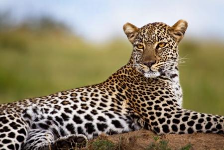Hermosa hembra leopardo en montículo de termitas, Masai Mara, Kenia