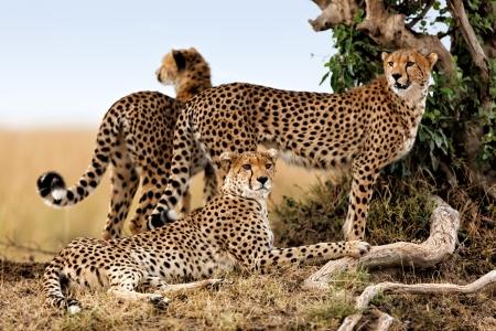 Cheetah madre y dos jóvenes en busca de comida, Masai Mara, Kenia Foto de archivo