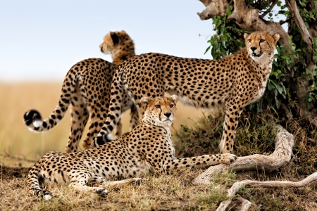 Cheetah mother and two young ones looking for food, Masai Mara, Kenya