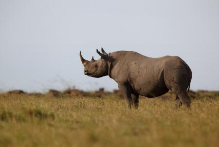 grazer: Black Rhino, Masai Mara, Kenya