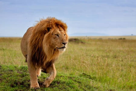 Beautiful Lion Long in Masai Mara, Kenya Stock Photo - 24761531