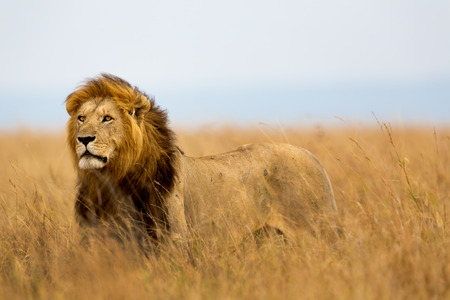Mighty Lion Caesar watching the lionesses who are ready for the hunt in Masai Mara, Kenya