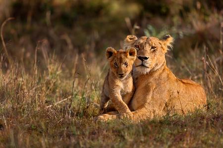 Leeuw moeder van Notches Rongai Trots met welp in Masai Mara, Kenia