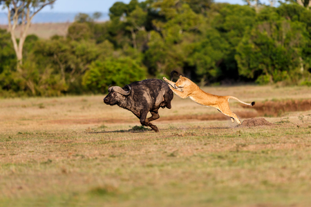Lion hunting a Buffalo in Masai Mara, Kenya Stock Photo