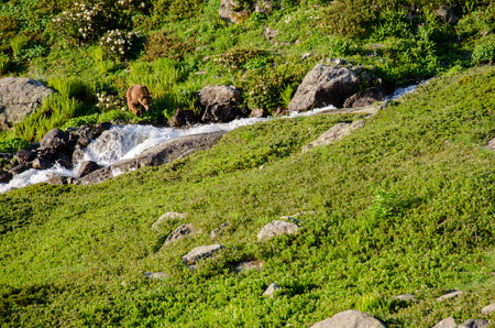 unbound: Brown Bear at Kakar Mountains