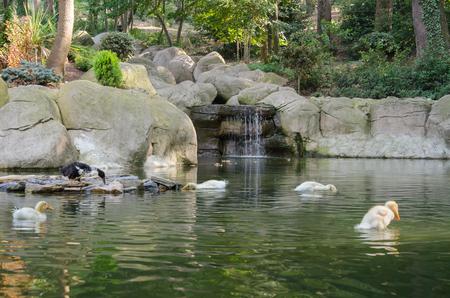 ducklings: Ducklings in pond