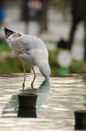thirsty bird: Close-up of parched seagull drinking from ornamental pool