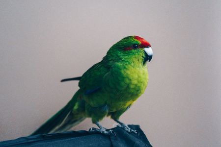 Beautiful green red-fronted Kakariki parrot isolated on gray background. Stock Photo