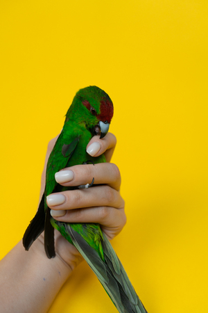 Close up funny green red-fronted Kakariki parrot biting womans hand isotated on yellow background. Green parrot