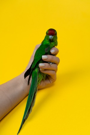 Close up beautiful green red-fronted Kakariki parrot in womans hand isotated on yellow background. Green parrot Standard-Bild