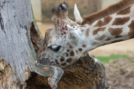 hollow tree: A curious young giraffe investigating the contents of a hollow tree trunk