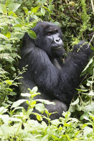 silverback: Silverback Mountain Gorilla