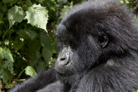 and diurnal: Young Gorilla in the wild, Virunga National Park, Rwanda