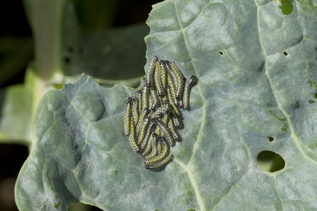 brassicae: A cluster of small cabbage white caterpillars feeding on the leaf of brussel sprout plant
