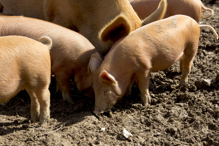 sow: A litter of Tamworth piglets and a sow in a muddy field