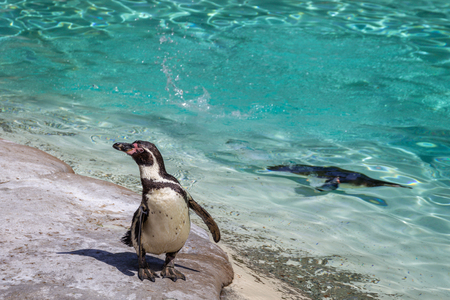 Humboldt penguins (Spheniscus humboldti) at the zoo 스톡 콘텐츠