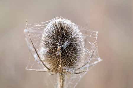 Bur covered in dew laden spider cobweb, sparkling in the bright morning winters sunshine Фото со стока