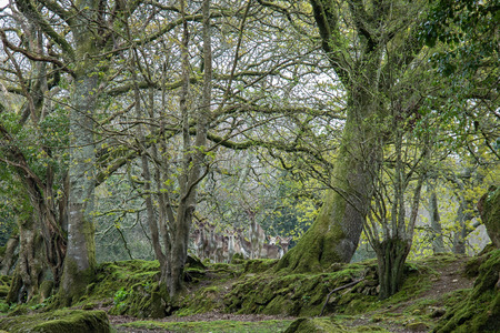 Herd of shy Fallow deer among the trees of a forest in Cornwall, UK
