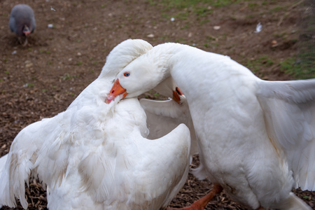 Two white geese fighting on a farm