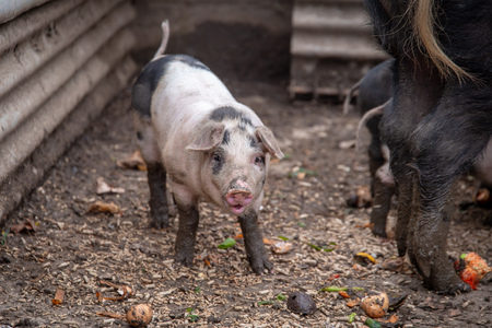 Saddleback piglet in a pigsty on a farm
