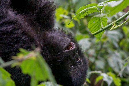 Bebé gorila en estado salvaje, Parque Nacional de Los Volcanes, Ruanda Foto de archivo