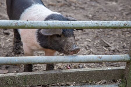 Saddleback piglets, sus scrofa domesticus, behind the fencing of a pigsty