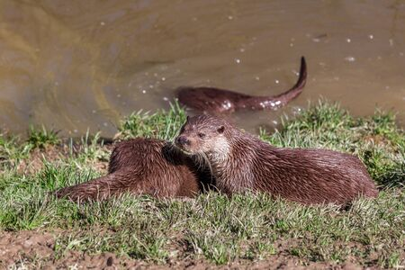 European Otter, Lutra Lutra, relaxing near a river. England, UK Banco de Imagens