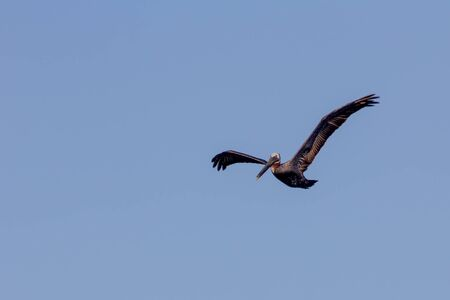 Flying Brown Pelican, Pelecanus occidentalis, with outstretched wings against a blue sky background in Jamaica