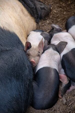 Saddleback piglets, sus scrofa domesticus, and their sow mother, sleeping squashed together in a pig pen Stock Photo
