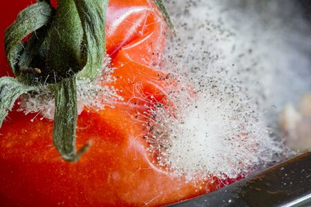 Close up of an overripe rotten tomato covered in fungal spores