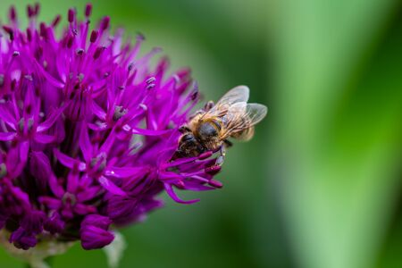 Close up of a bee, bombus pascuorum, gathering nectar on a purple Allium flower