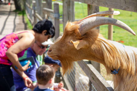 London, England - June 07 2015: Curious goat interacting with visitors to Deen City Farm, London, England