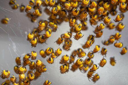 Newly hatched baby Araneus diadematus garden spiders Reklamní fotografie