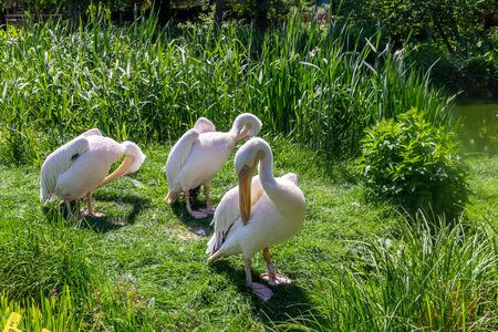 Eastern White Pelicans, Pelecanus onocrotalus. Also known as rosy, great white or white pelican.