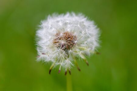 Close up of a dandelion head, Taraxacum, with a natural green background
