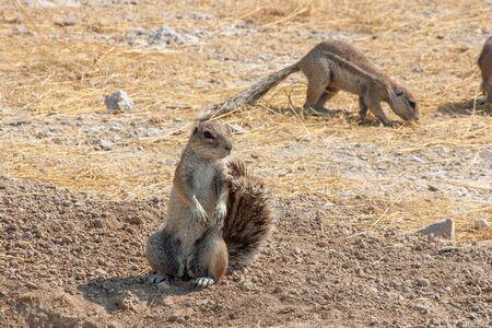 African Cape ground squirrel, Xerus inauris, in Etosha National Park, Namibia, Africa