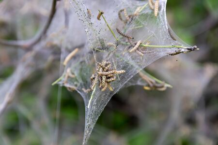Nesting web of ermine moth caterpillars, yponomeutidae, hanging from the branches of a tree