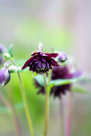 Columbine Aquilegia Vulgaris, Black Barlow, flower commonly known as Grannys Bonnet