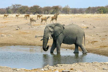 African Elephant, loxodonta africana, in a water hole in Etosha National Park, Namibia